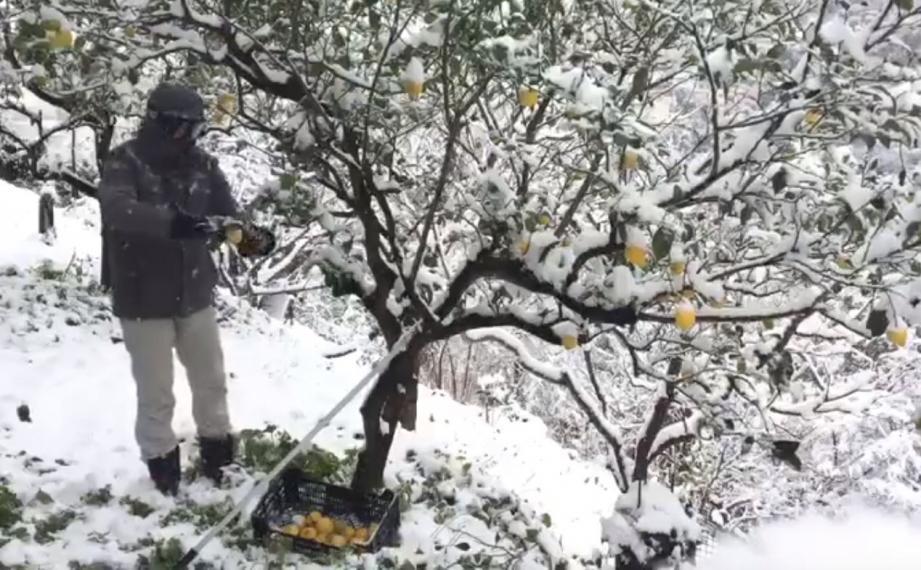 L'équipe a terminé la récolte des citrons... sous la neige !