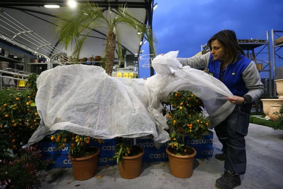 Comme les particuliers, les grandes enseignes ont anticipé le froid en protégeant leurs végétaux à l'aide d'un voile d'hivernage.