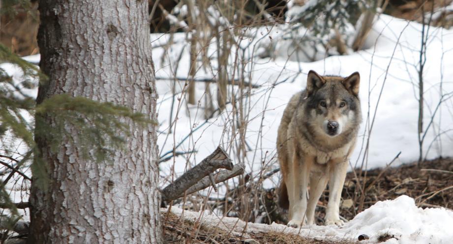 Un loup au parc Alpha à Saint-Martin de Vésubie (illustration).