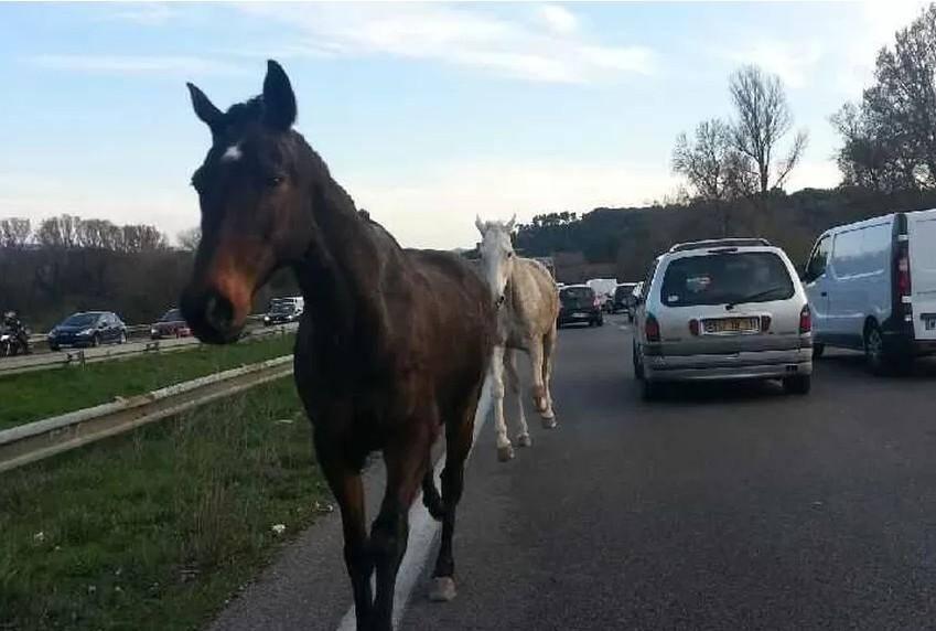 Les deux chevaux en liberté sur l'A51, à hauteur d'Aix-en-Provence.