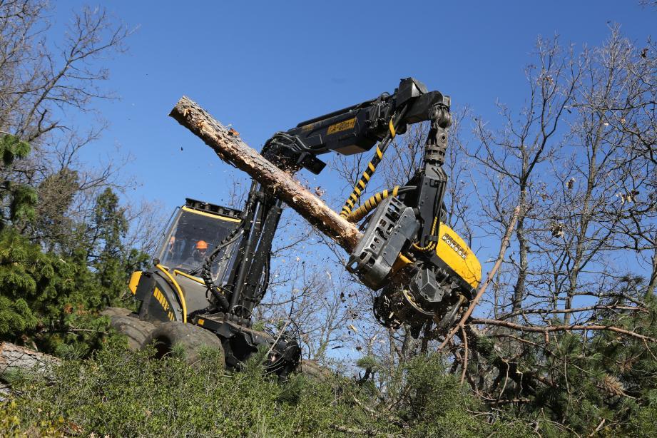 Le chantier est en cours sur la forêt communale de Pourrières. Les pins noirs malades doivent être abattus avant que les insectes se propagent aux Pins d'Alep.