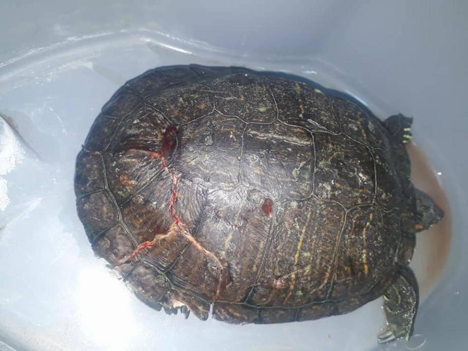 Une tortue jetée par la fenêtre après une dispute conjugale.