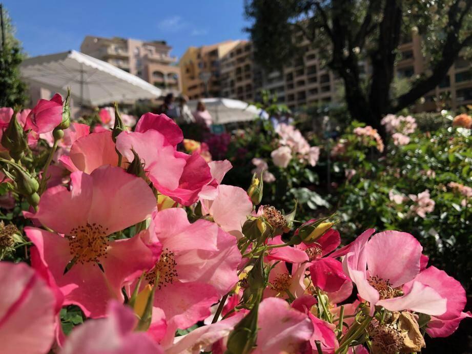 Fleurs simples ou pompons, blanches, roses ou violettes… tous les goûts sont dans le concours !