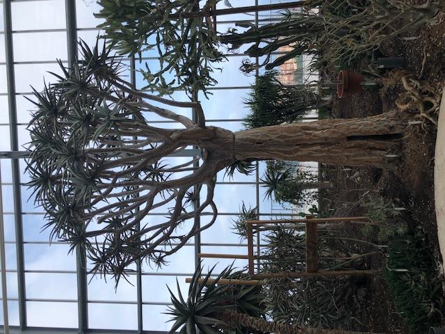 L'aloé dichotoma, un arbre de Madagascar qui a plus de 40 ans. Un des plus grands en culture en serre.