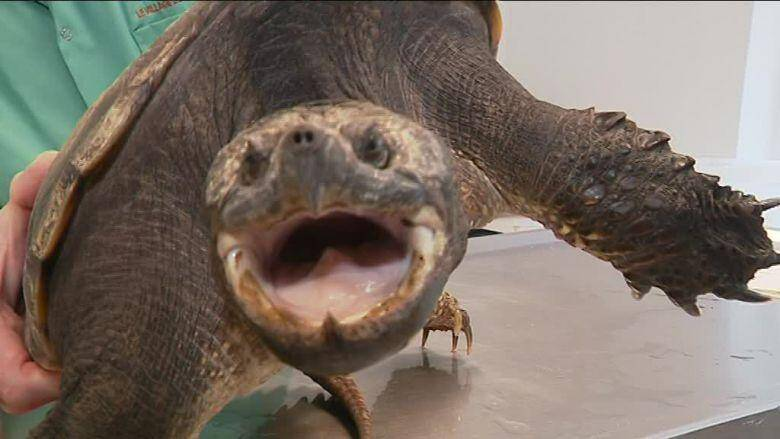 Cette centrochelys sultaca, une tortue originaire d'Afrique sahélienne, a été retrouvée par des particuliers dans leur jardin à Tourves. Très agressif, ce reptile peut atteindre 60 kg.