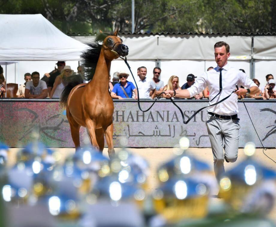 Ce week-end, le stade Rondelli accueillera les plus beaux chevaux arabes.(Archive photo Michaël Alesi)