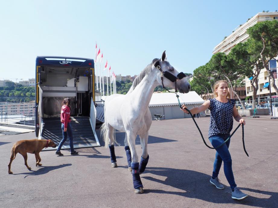 Les 195 chevaux sont arrivés hier matin en Principauté.