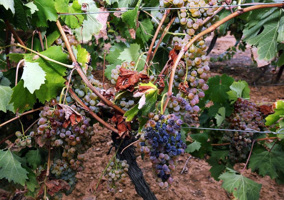 Ces dernières années, la vigne varoise a beaucoup souffert de la sécheresse. Le besoin du recours à l'irrigation se fait de plus en plus pressant.