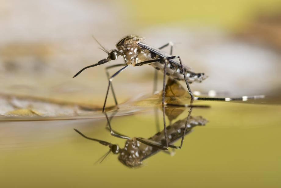 La dengue est un virus qui se transmet de personne à personne par l'intermédiaire d'un moustique infecté (moustique tigre).