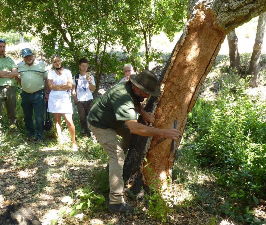 La levée du ilège demande expérience et dextérité pour le pas blesser l'arbre.