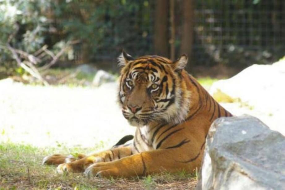 Un tigre en plein repos.