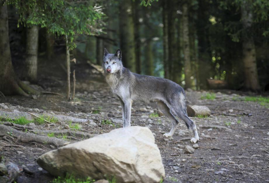Des loups du Parc Alpha dans le Parc du Mercantour.