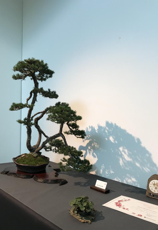 Le « pin sylvestre aux trois troncs » a remporté un prix européen.(DR)