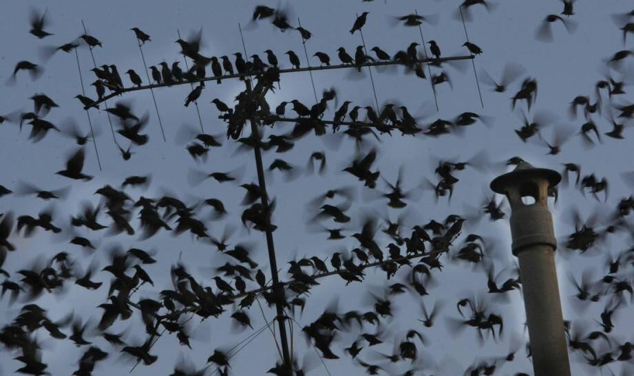 Les oiseaux passent la nuit dans des zones arborées afin de se sentir en sécurité.