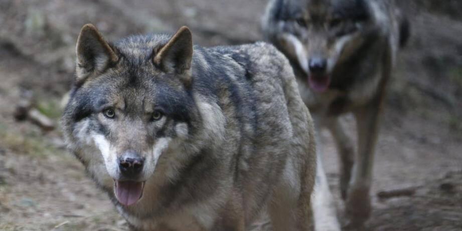Une famille de Peymeinade aurait aperçu une meute de loups.