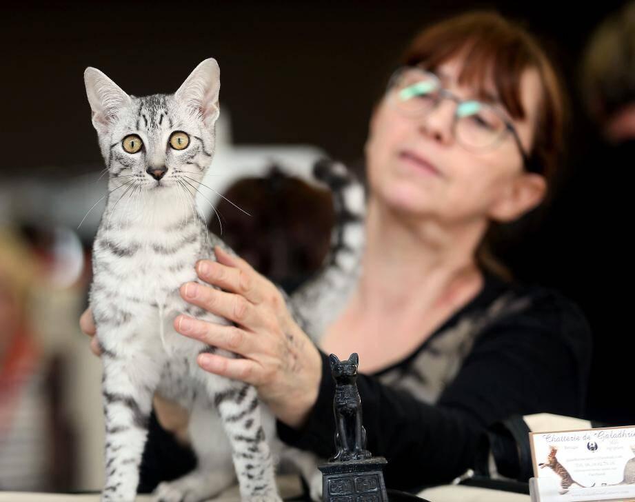 Le Mau Égyptien, le chat des pharaons...au scottish fold aux oreilles pliées...