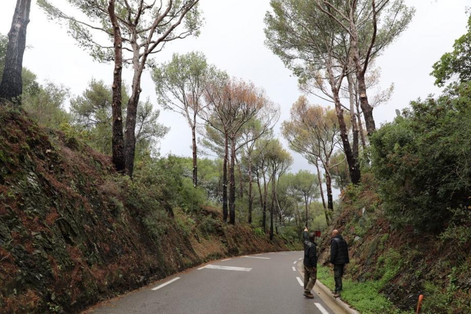 Les espaces verts débusquent les espèces de pins contaminées par le scolyte.