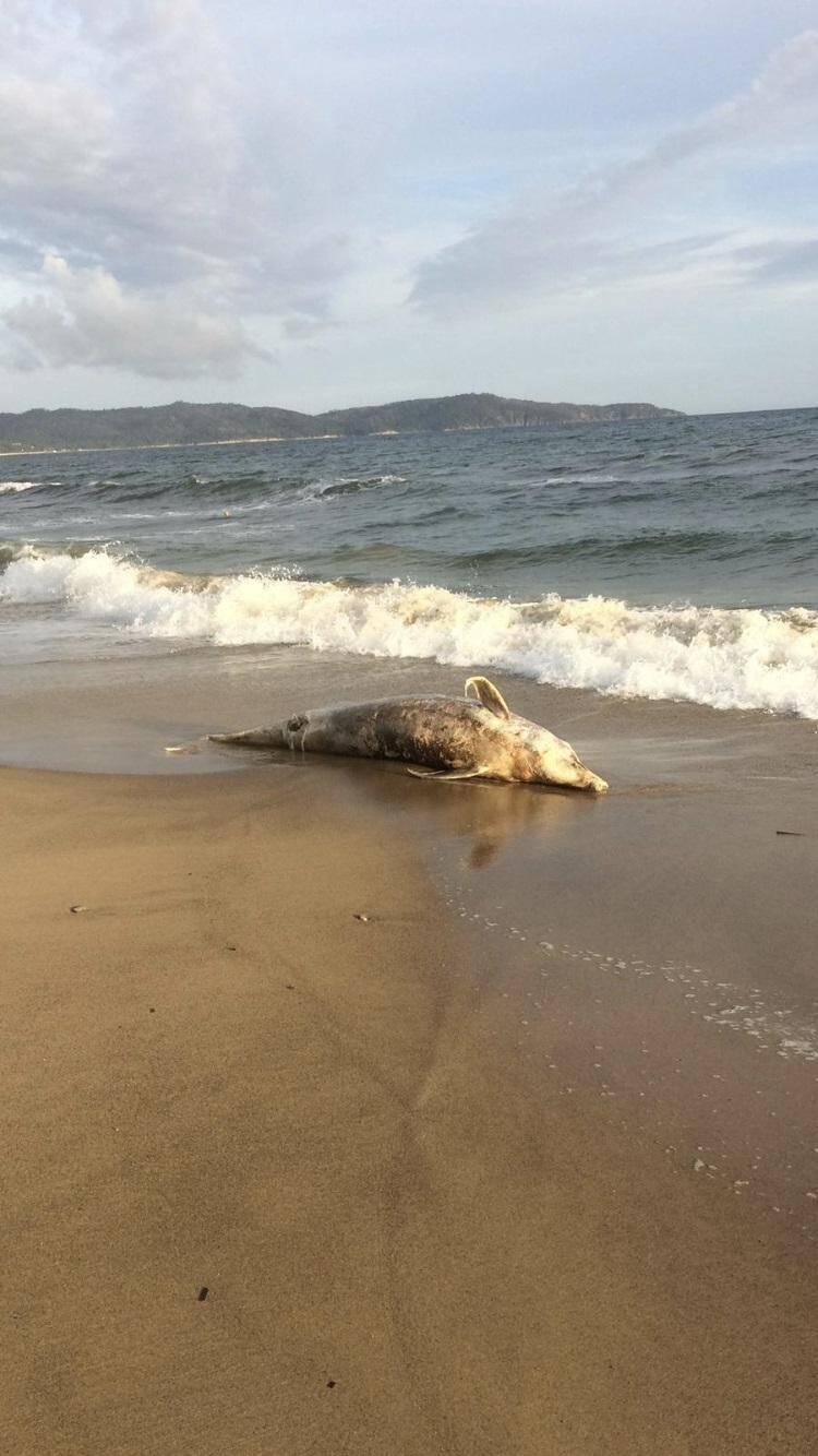 Un grand dauphin s'est échoué à Cavalaire.