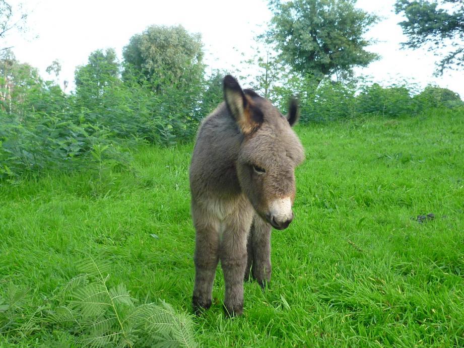 L'ânon né le 23 octobre dans le massif forestier de la Croix-des-Gardes.