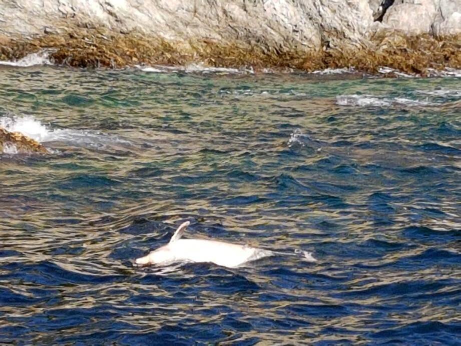 Le dauphin retrouvé mort à Giens.