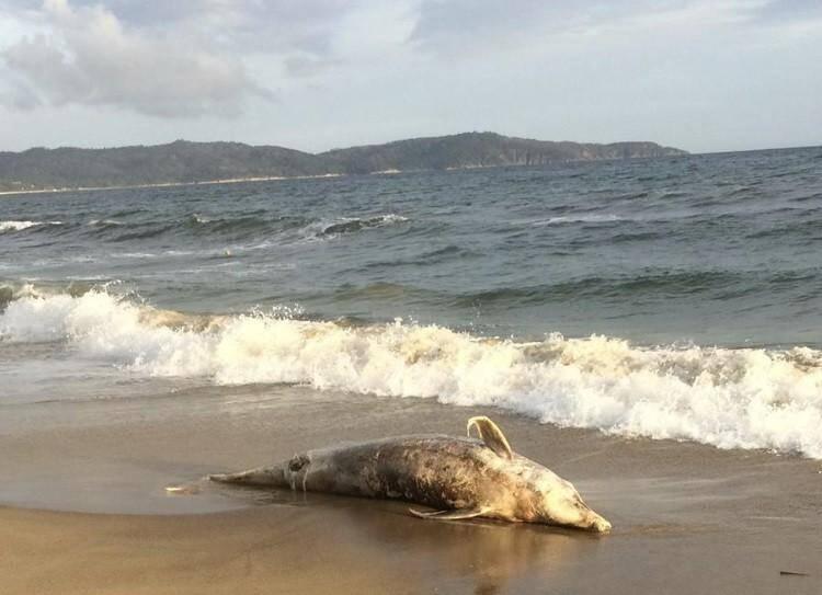 Un grand dauphin échoué à Cavalaire.