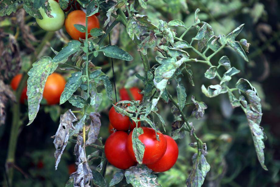 Les graines de tomates se plantent dans de la terre de coco à la mi-février.