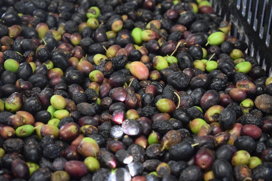 De l'huile d'olive pour un projet noble. (DR)