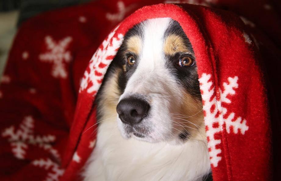 Les saignements du nez sont fréquents chez le chien.