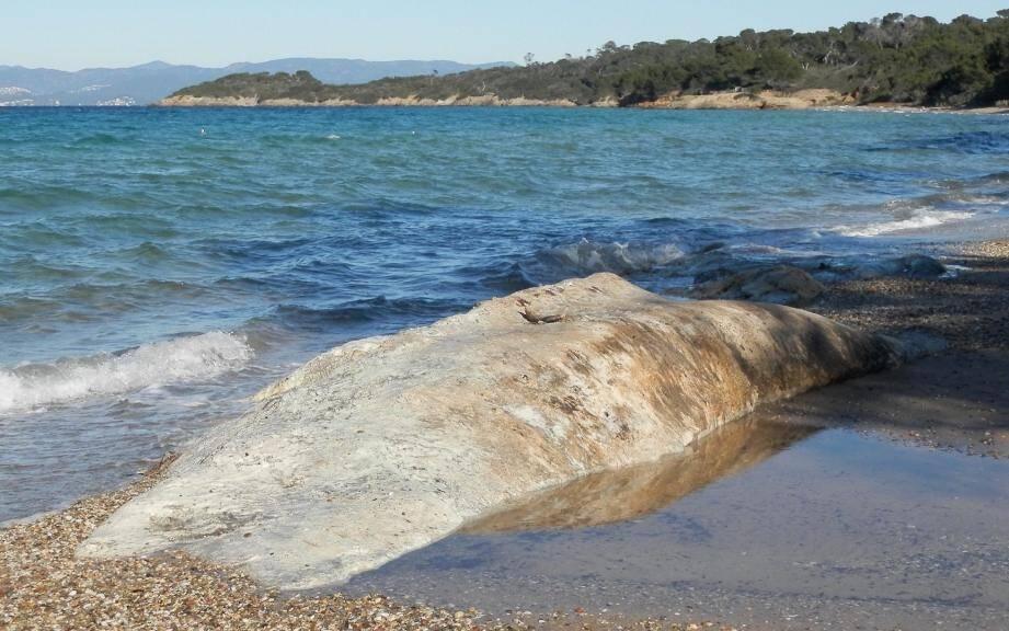 Fin septembre 2018, la carcasse d'un rorqual commun sans tête, d'environ 20 tonnes, a fait escale sur la côte ouest de l'île de Porquerolles, dans les rochers.