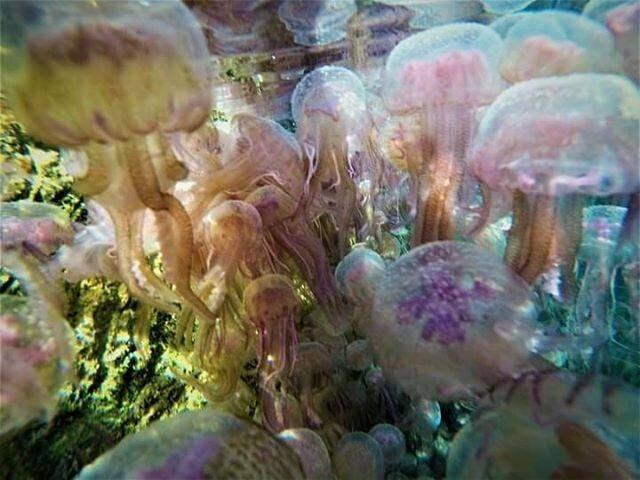Muni de son gant de plongée et de sa GoPro, Jacques Debat a pris cette photo au milieu du banc de méduses ce mardi matin.