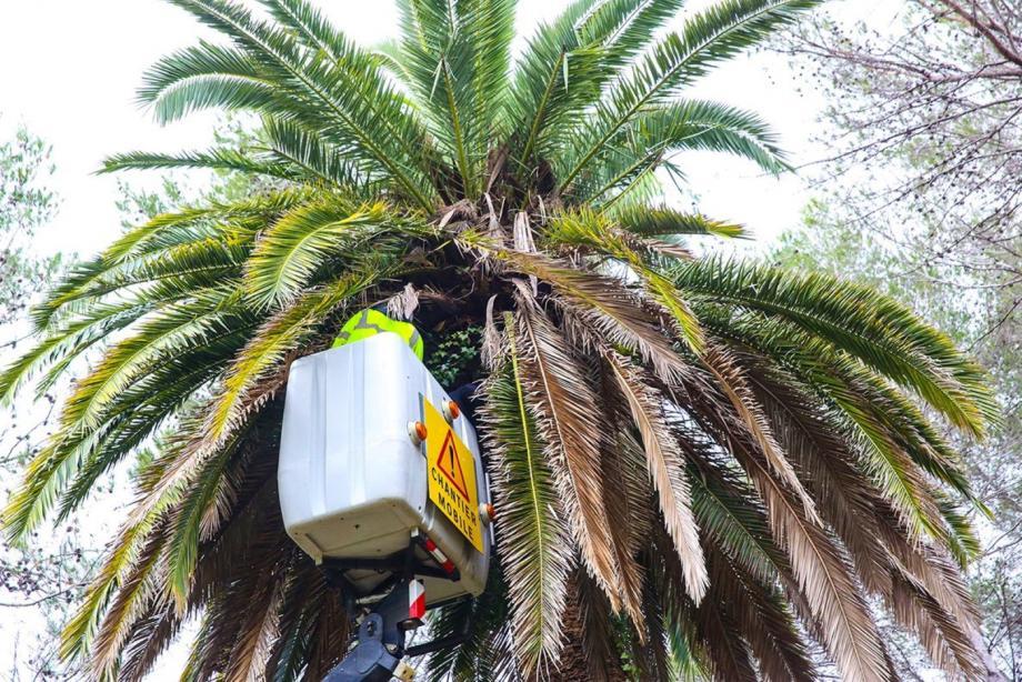 Le Rhinchotrack est installé au plus haut du palmier par un professionnel(DR)