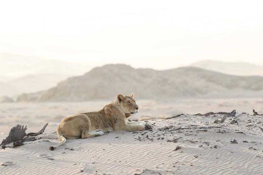 En Namibie, l'association soutient des locaux pour la préservation du lion du désert, dont il ne reste que 150 représentants de l'espèce, décimée par l'homme.