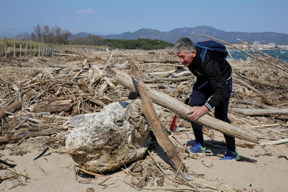 Sur une longueur de 700 mètres, les troncs d'arbre rejetés par la mer sont bien utiles à Saint-Aygulf.