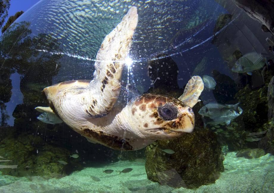 Première pensionnaire : une tortue marine qui pèse quelque 55 kg.