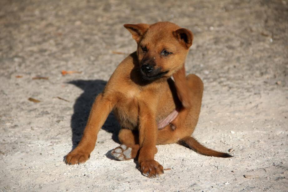 La maladie apparaît le plus souvent chez des animaux jeunes, d'un à cinq ans.