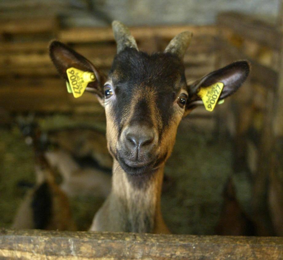 Une chèvre a été élue maire aux Etats-Unis.