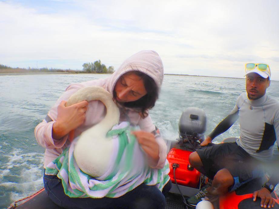 L'équipe du club de voile Var-Mer a aidé à aller secourir la femelle cygne. (DR)