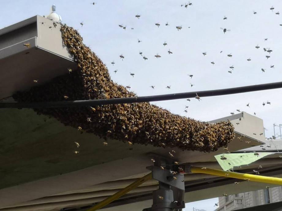 Un essaim d'abeilles à Libé.