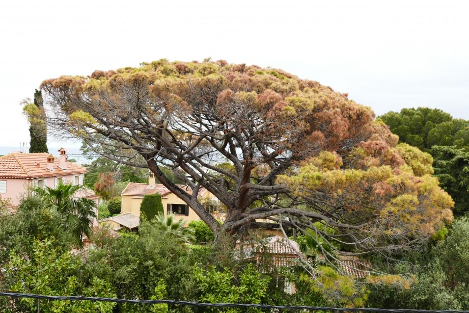 Rongé par un champignon, cet arbre emblématique de Juan va disparaître.