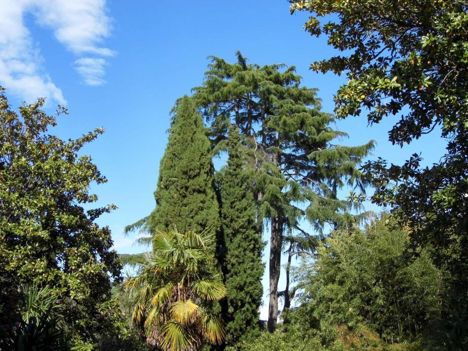 Un majestueux cèdre du Liban: l'une des merveilles du jardin privé de la Villa Laure à Vallauris-Golfe-Juan.