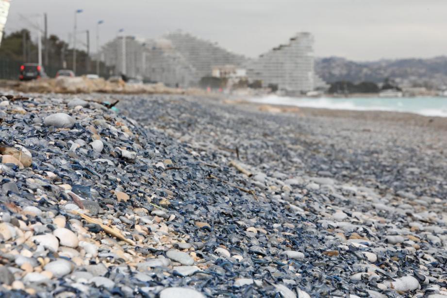 Comme chaque année, comme ici au printemps 2018, poussées par le courant et le vent d'Est, les vélelles viennent s'échouer par milliers sur le littoral, notamment entre Villeneuve-Loubet et Antibes.