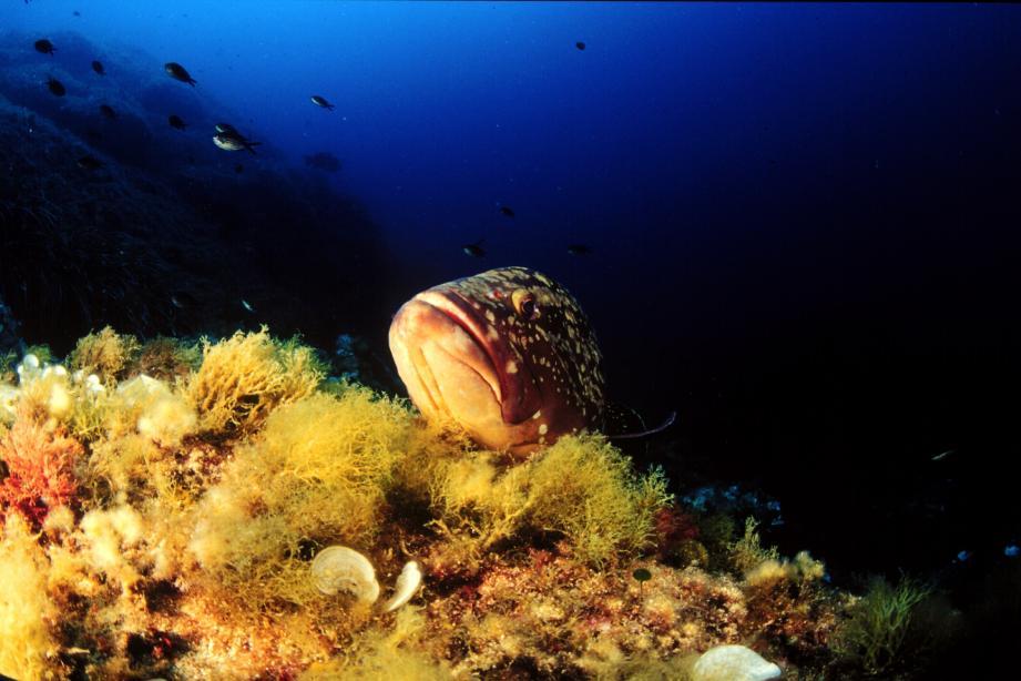 Quasiment disparu dans les années 70, le mérou brun est de retour à Port-Cros.