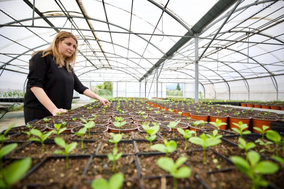 Cécile Mul devant les petits plants de Bigaradiers en attente de greffe. Ils sont l'objet de soins attentifs dans une serre à la distillerie Sotraflor: 600 d'entre eux seront plantés en 2020.