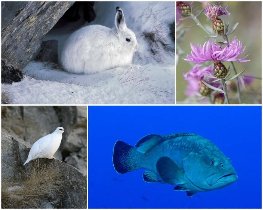 Lièvre variable, lagopède alpin, mérou ou encore la fausse centaurée bleuâtre... quelques unes des nombreuses espèces en danger dans notre région.