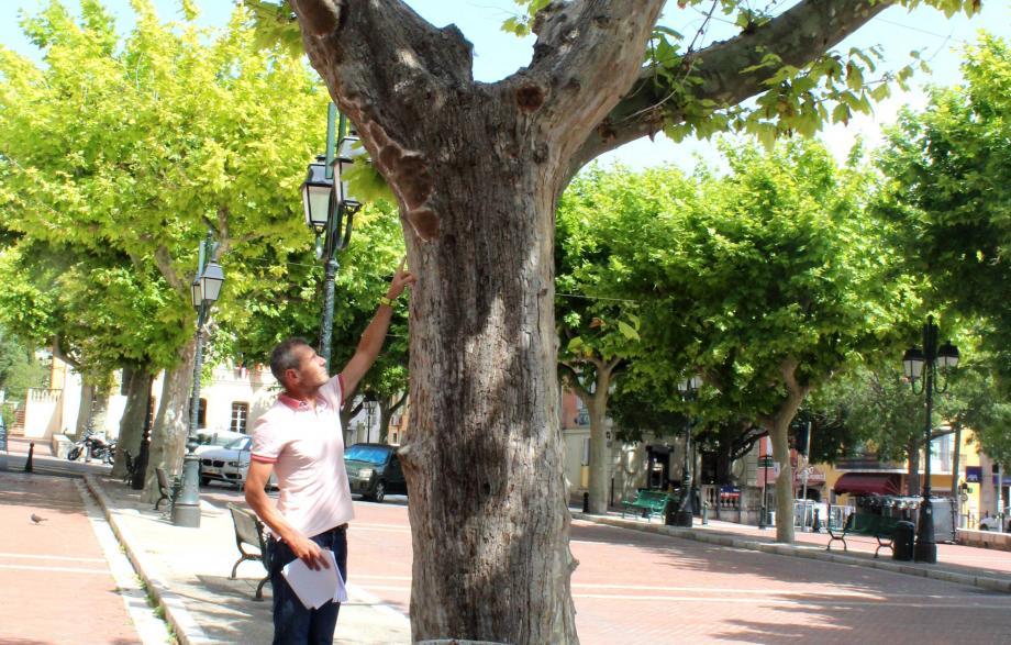 Les arbres vont être abattus pour éviter tout risque de rupture de branches.