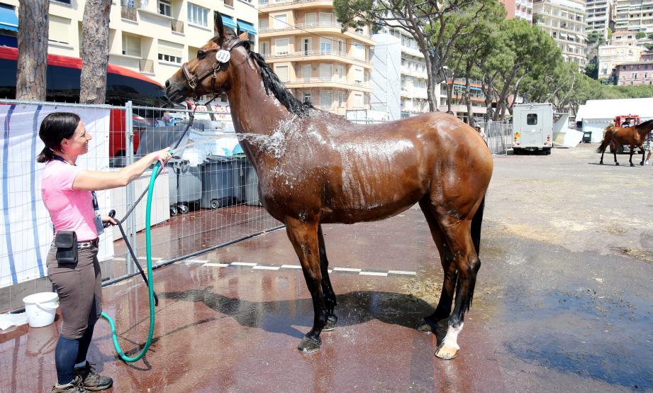 Trois douches par jour, c'est le tarif minimum pour les chevaux.