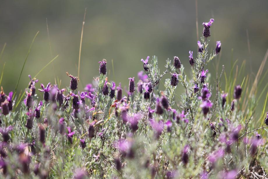 La lavande et le lavandin comptent parmi les plantes à parfum et aromatiques les plus exportées de la Région Sud-Paca.