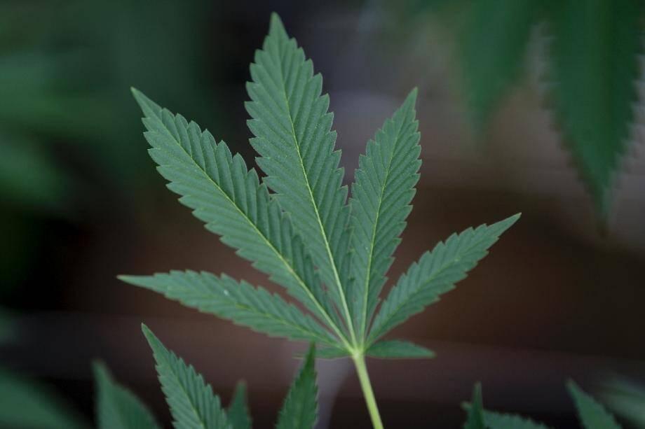 Image d'une feuille de cannabis prise le 17 avril 2019 dans les locaux uruguayen de la compagnie américaine Fotner à Nueva Helvecia