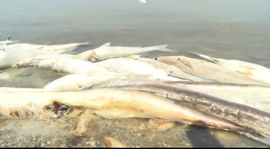 Des centaines de poissons morts ont été retrouvés ce week-end en train de flotter à la surface de l'étang de Bolmon sur la commune de Marignane qui héberge l'aéroport de Marseille Provence.