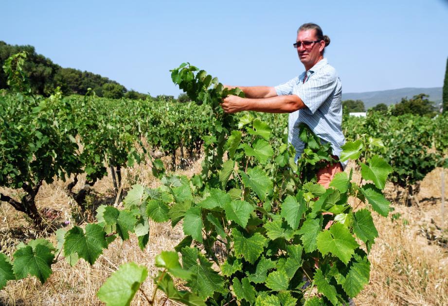 Dans ses vignes de La Cadière, Guilhem Tournier qui prépare activement les vendanges programmées pour le 9 septembre, promet un millésime exceptionnel.